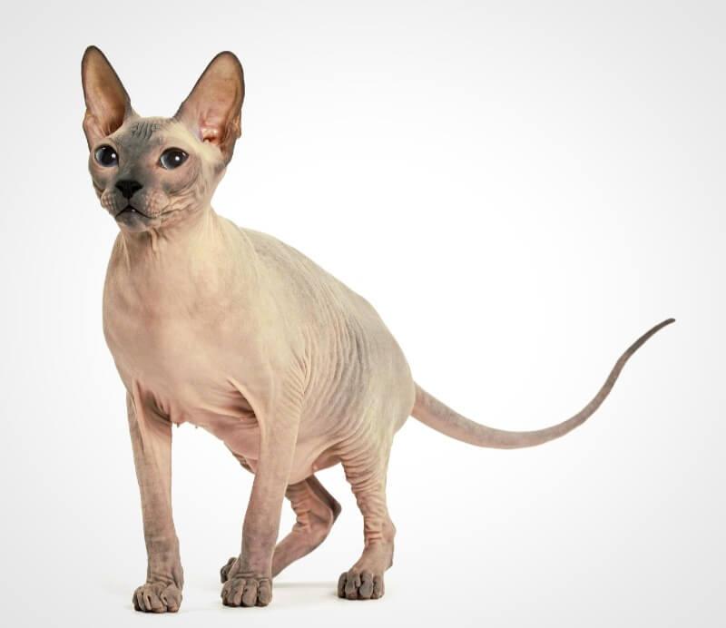 кошка донского сфинкса