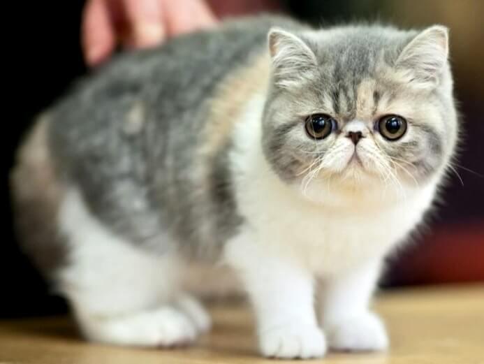 кішка екзот