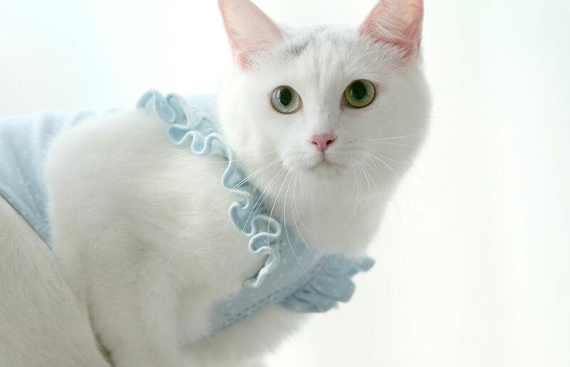 кішка турецька ангора