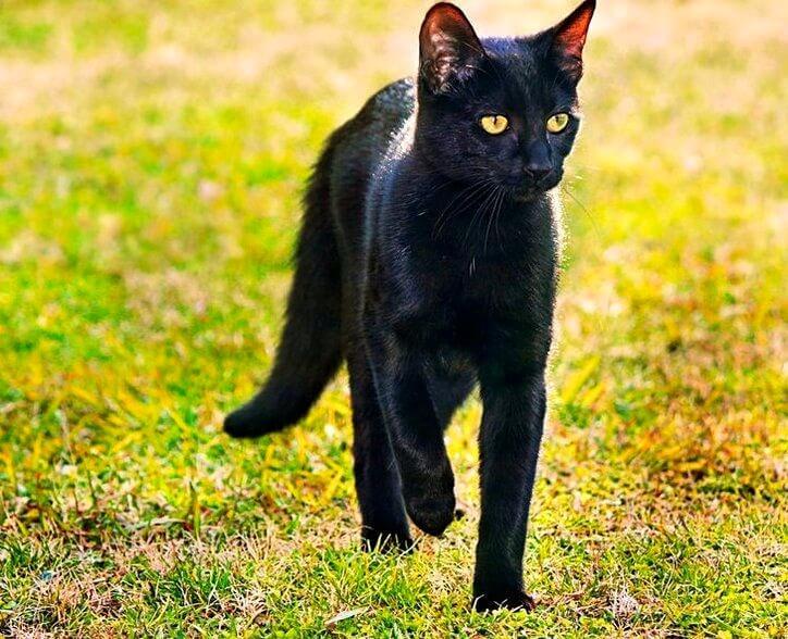 кіт бомбейської породи