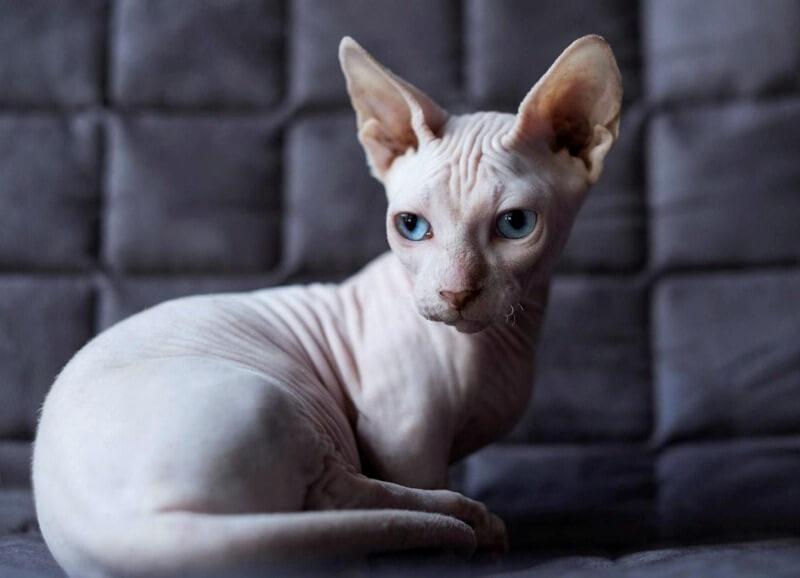 кот донский сфинкс
