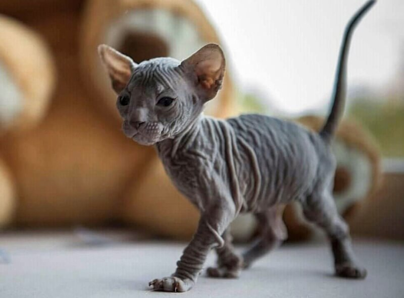 котенок донский сфинкс