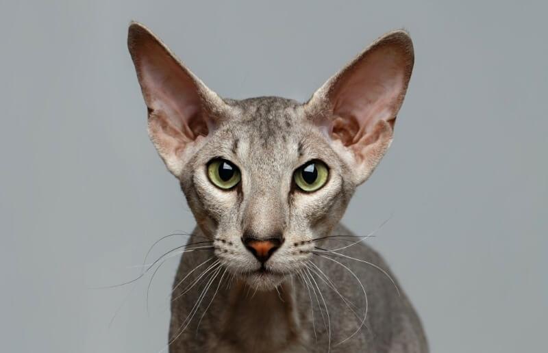 петерболд сфінкс кіт