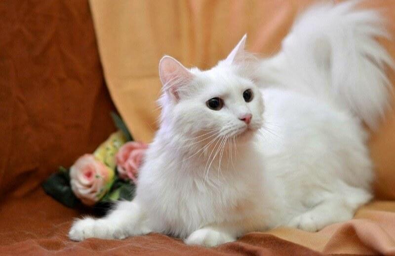 шерсть ангорської кішки