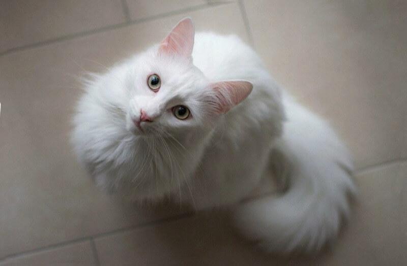 порода кішок турецька ангора