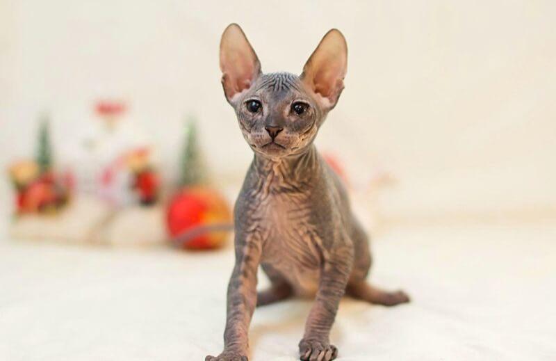 донский сфинкс уши котенка