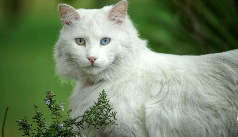 ангора турецкая кошка