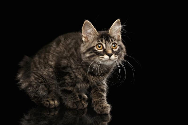 котенок бобтейл