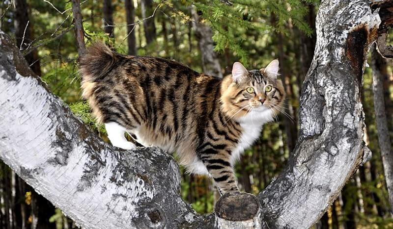 кошка бобтейл происхождение породы