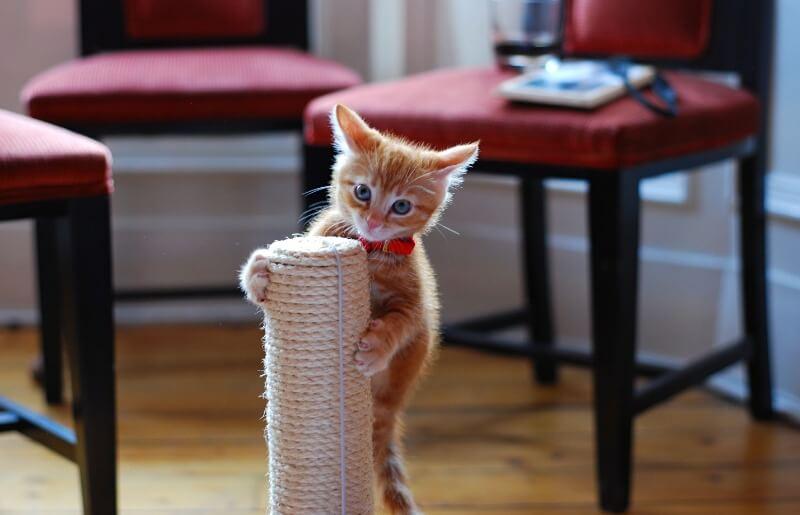 як привчити кошеня до кігтеточки