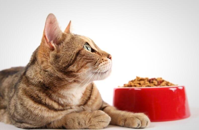 яким кормом годувати кота