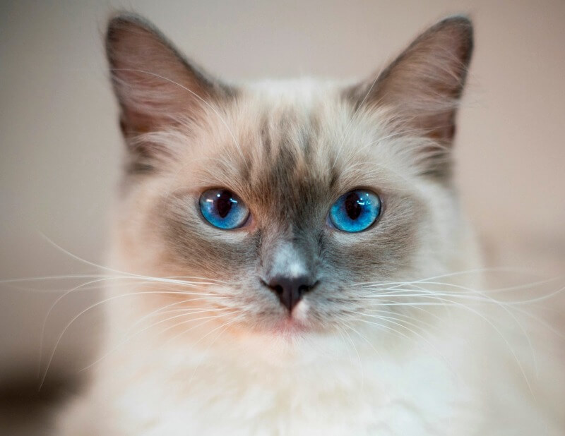 кішка регдол