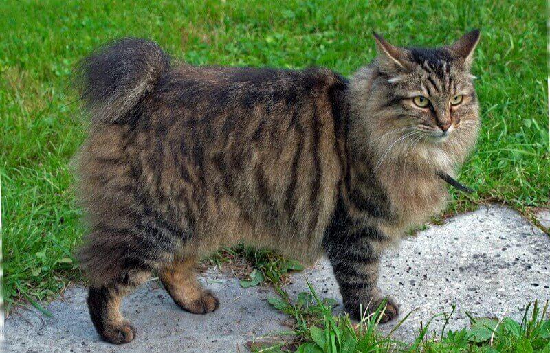 кіт бобтейл