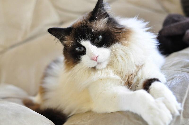 кіт регдолл