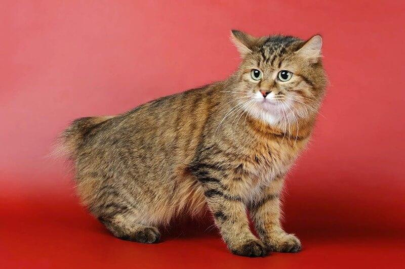 бобтейл курильский котенок