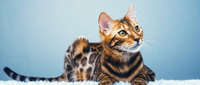 найкрасивіші породи кішок