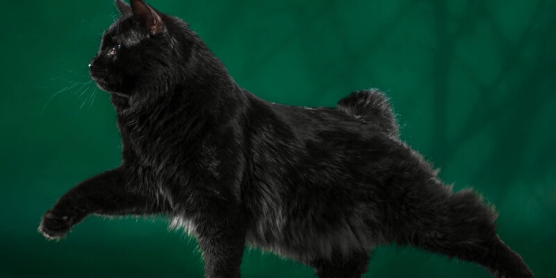 курильський бобтейл чорне забарвлення