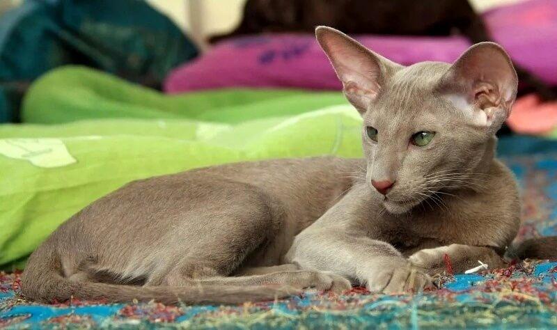 орієнтальна кішка димчастого забарвлення