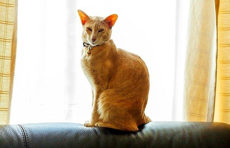 рудий кіт орієнтал