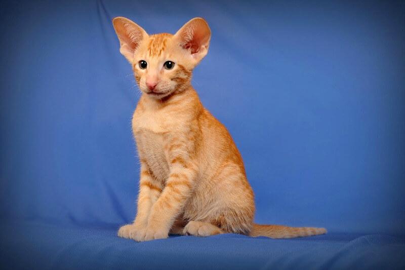 орієнтал кошеня руде