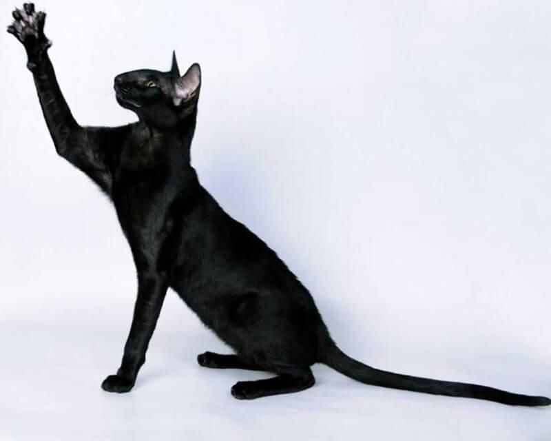 орієнтальна кішка чорного забарвлення