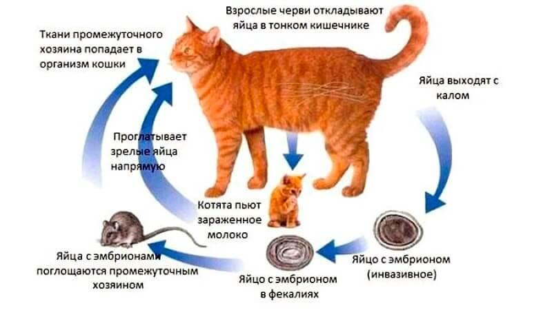 причини появи глистів у кішок