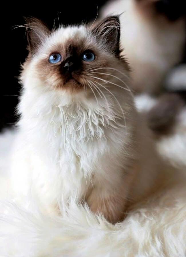 кошеня регдол