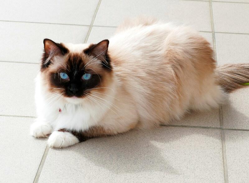 порода кошек рэгдолл