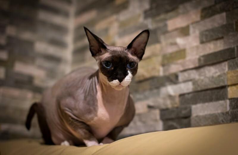 кот сфинкс канадский