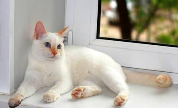 біла тайська кішка