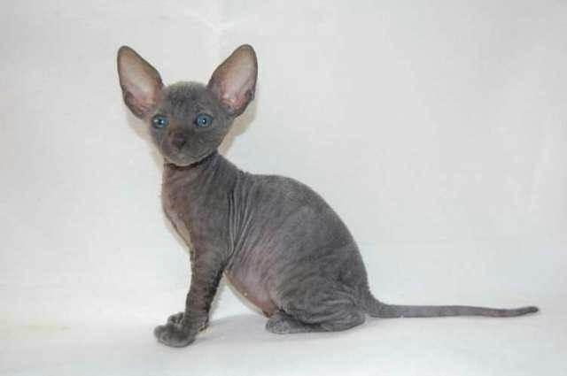 голубой окрас девон рекс котенок
