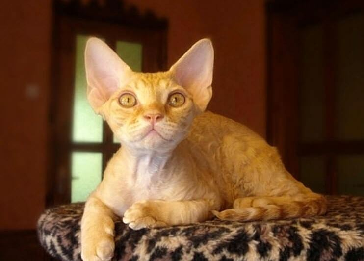 рыжий котенок девон рекс