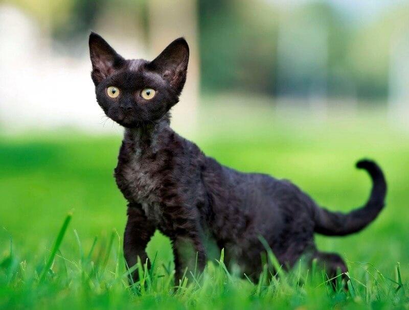 шерсть кошек девон рекс