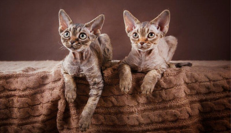 характер кошек девон рекс