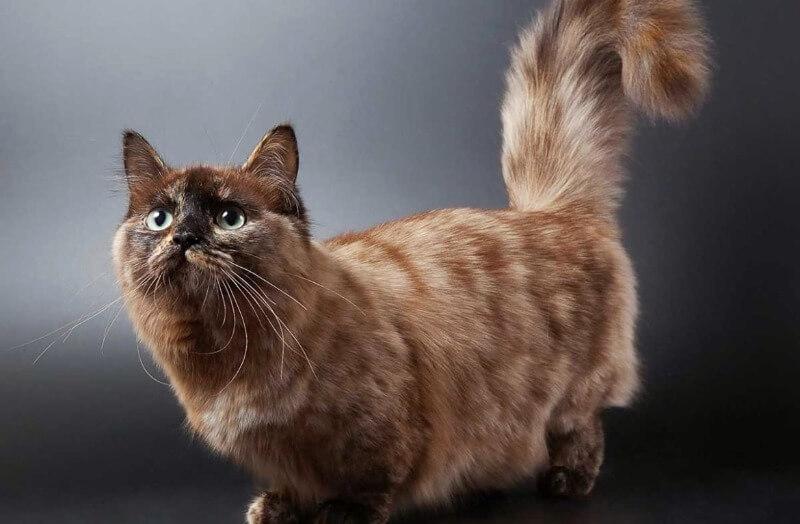 кішка манчкін