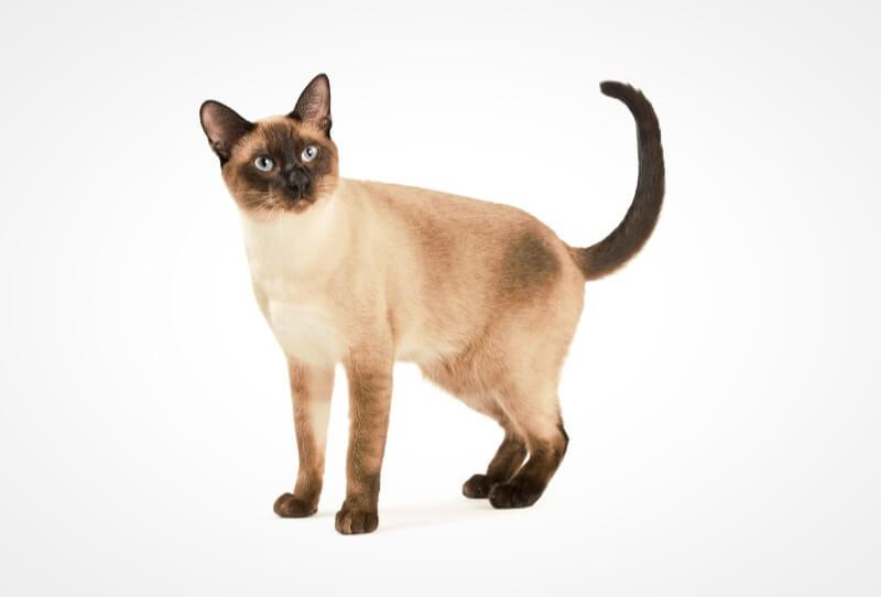 кішка тайської породи
