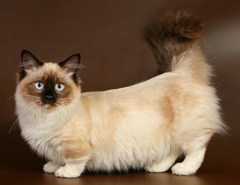 манчкін кішка