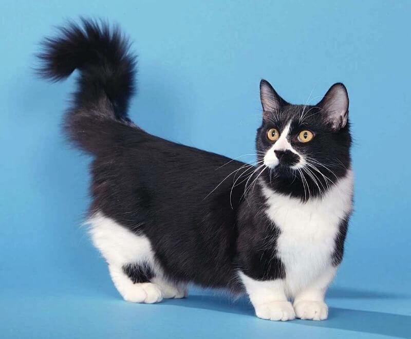 манчкін кіт походження породи