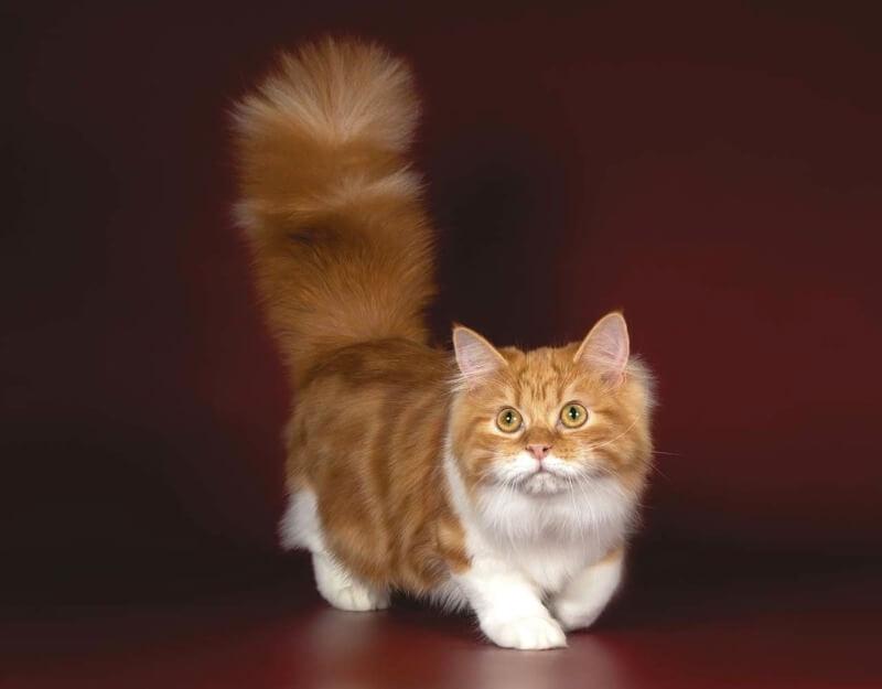 кішка породи манчкін