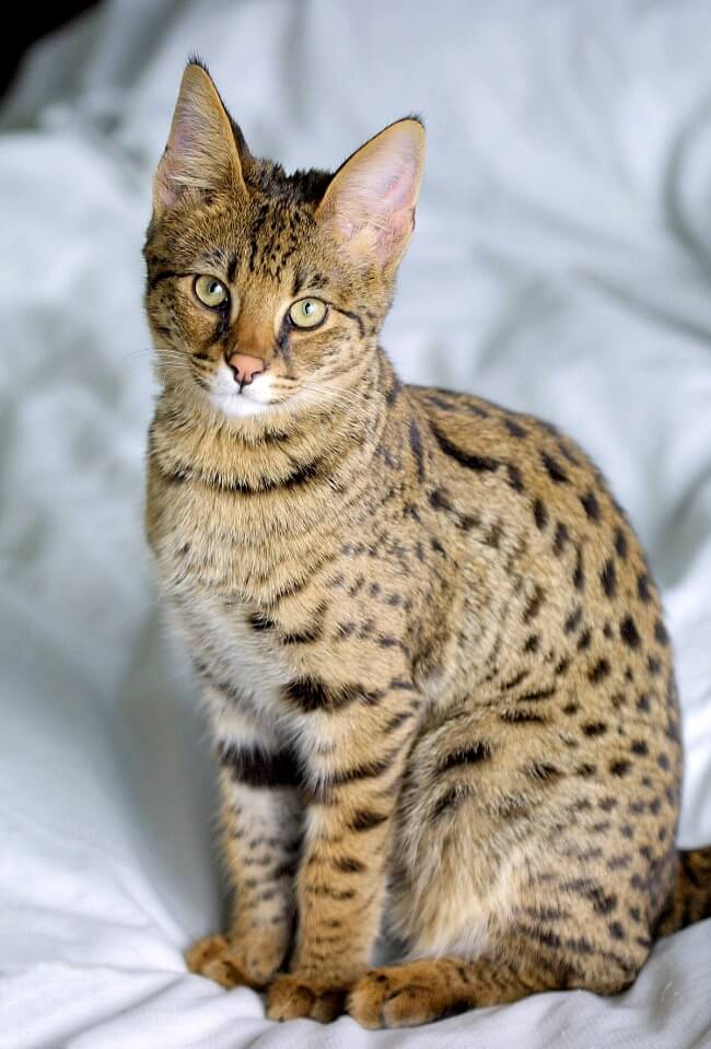 саванна кошка происхождение породы