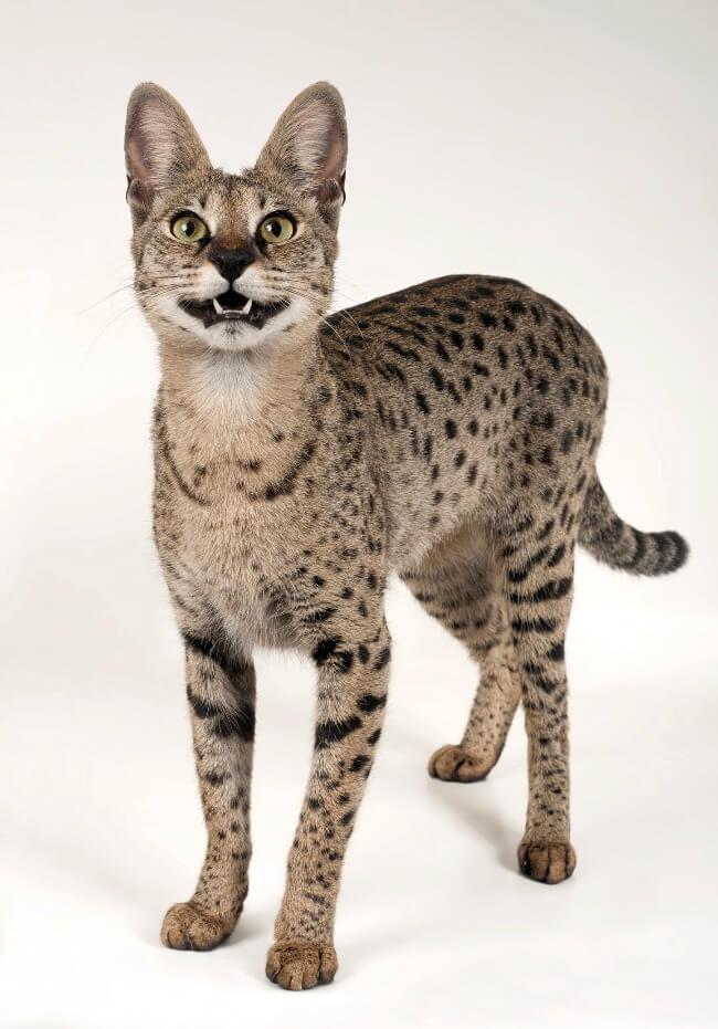 саванна кошка серебристая