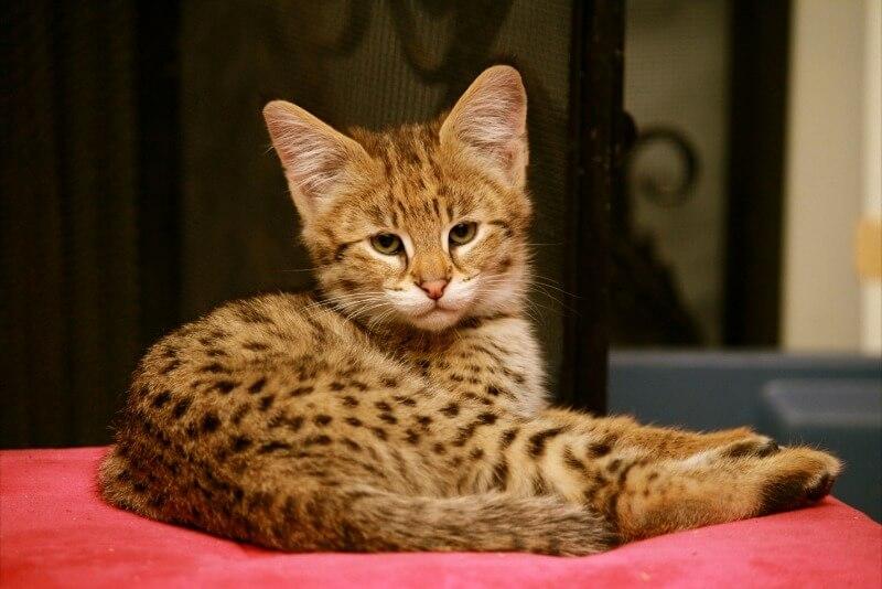 котенок саванна