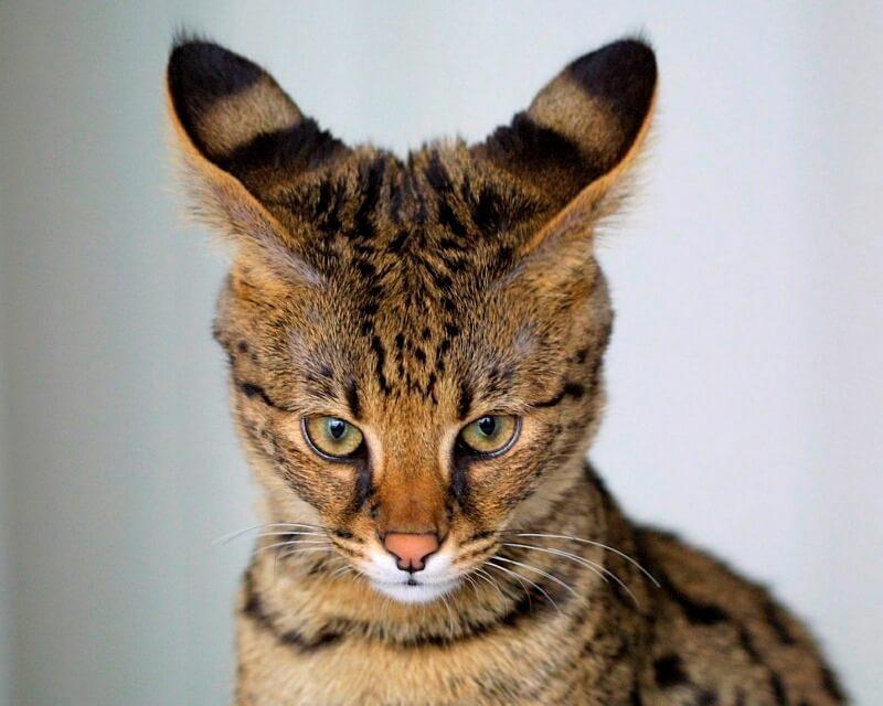 форма ушей у кошек саванна
