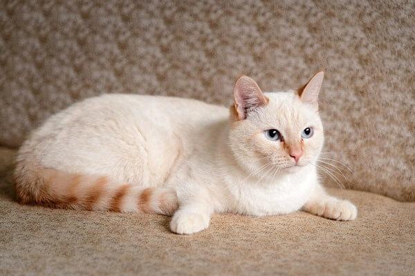 тайский кот белого окраса