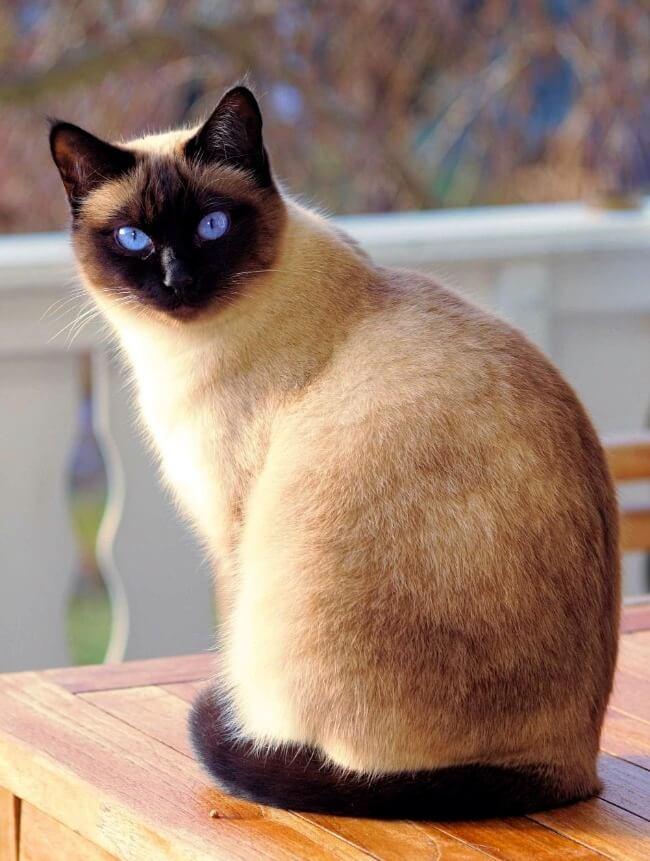 тайська кішка колор поінт