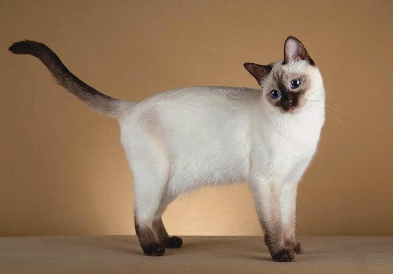 тайська порода котів