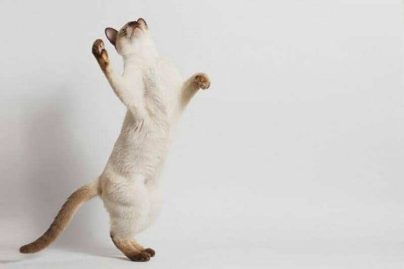тайський кіт характер