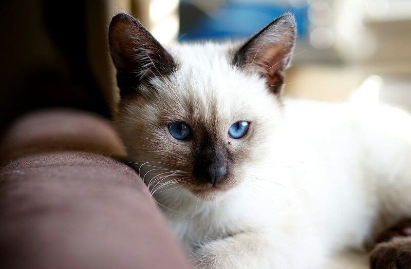 внешние особенности тайских кошек