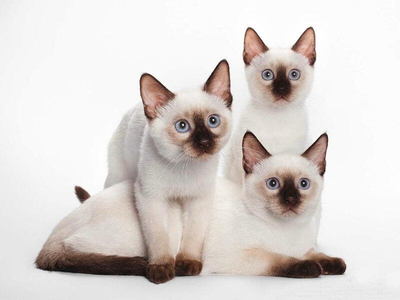 тайські кошенята