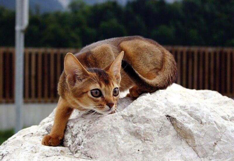 Абісінська кішка
